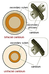 The two basic types of cambium design. Figure after Donoghue 2005.