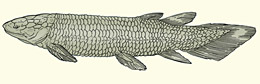 The Devonian lungfish Dipterus