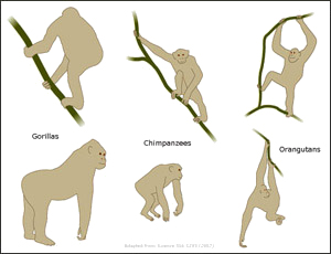 Different ways in which apes support themselves in the trees
