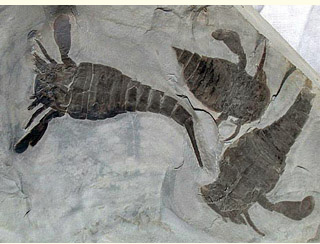 Eurypterus remipes, Silurian period, Fiddlers Green Formation, Herkimer County, NY (image: Langs Fossils)