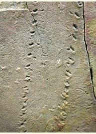 Eurypterid tracks, Tumblagooda Sandstone, exhibited in Western Australia Museum, Perth