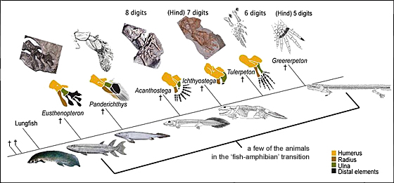 Pectoral fin to tetrapod forelimb transition according to Kevin Padian