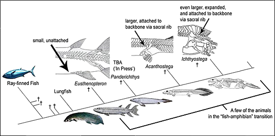 Pelvic fin to tetrapod hindlimb transition according to Kevin Padian