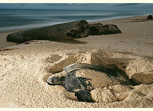 Nesting leatherback (National Geographic Magazine) title=