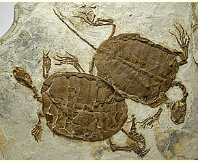 Manchurochelys from the Liaoning beds of China