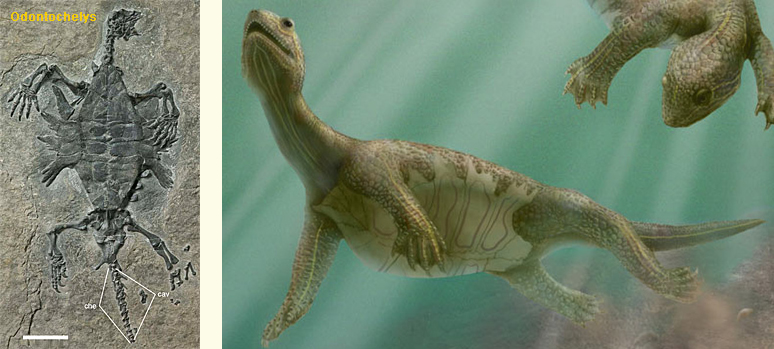 Odontochelys – artistic reconstruction by Marlene Donnelly