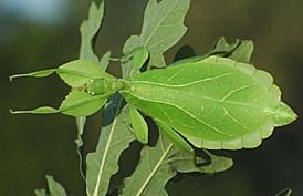 The leaf insect Phyllium