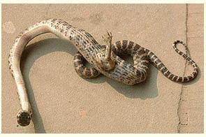 Cetacean Evolution: Snake Evolution - Photos of Vestigial Hind ...