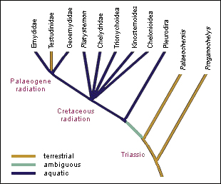 Highly simplified cladogram of habitat preferences of major turtle groups (Joyce & Gauthier)