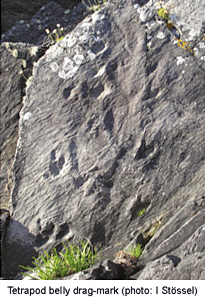 Devonian tetrapod tracks in the Valentia Slate, southwest Ireland. The depression down the centre was produced as the belly dragged along the sediment (photo:  Ivan Stössel).