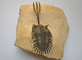 Walliserops trilobites from Morocco