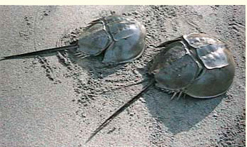 modern horseshoe crabs (Limulus), little changed from those of the Jurassic